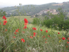 Poppies in Monterchi