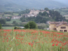 Poppy fields of Monterchi